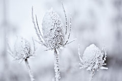 Snow Covered Teasel. Closeup some some snow covered wild teasel against a blurry background Royalty Free Stock Images