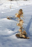 Snow covered thistle Royalty Free Stock Photos