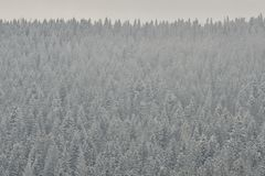 Snow-covered tops of firs. Thick coniferous forest. Winter lands. Cape royalty free stock image