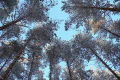Snow-covered tops. Of the pines against the sky Royalty Free Stock Photography