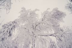 Top trees covered with snow against the blue sky, frozen trees in the forest sky background, tree branches covered royalty free stock image