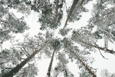 Snow-covered tops of the trees in the forest Stock Images