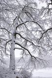 Snow-covered tree. The beginning of winter in a forest Stock Images