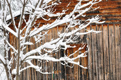 A snow covered tree against a wooden barn. Stock Image
