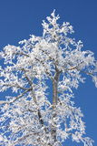 Snow-covered tree on the background of blue sky. Beautiful tree in the snow against the blue sky Royalty Free Stock Image