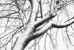 Snow Covered Tree In Black and White Royalty Free Stock Photos