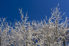 Snow covered Tree and blue skies Royalty Free Stock Photos
