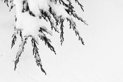 Snow covered tree branch. A snow covered tree branch against a white background stock images