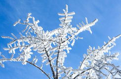 Snow covered tree branch on blue sky background  Winter time det Royalty Free Stock Images