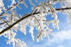 Snow covered tree branch on blue sky background  Winter time det Royalty Free Stock Photos
