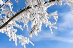Snow covered tree branch on blue sky background  Winter time det Royalty Free Stock Image