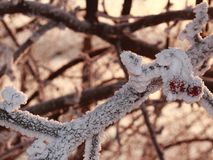 Snow-covered tree branch with crab apples Stock Photos