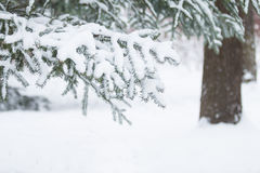 Snow-covered tree branch Royalty Free Stock Photography