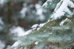 Snow-covered tree branch Stock Image