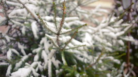 Snow-covered tree branch. pine or spruce. winter. Snow-covered tree branch. pine or spruce stock footage