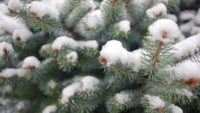 Snow-covered tree branch. pine or spruce. winter. Snow-covered tree branch. pine or spruce stock video footage
