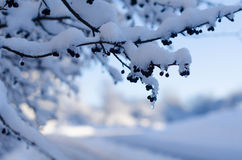 Snow covered tree. Branch shallow depth of field Stock Image