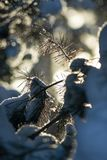 Snow-covered tree branch. royalty free stock images