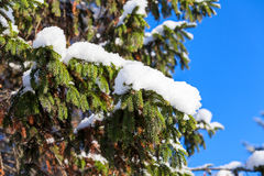 Snow-covered tree branch at spring Royalty Free Stock Photos