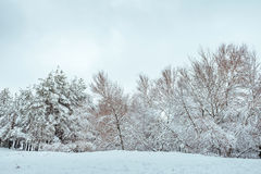 Snow-covered tree branch at sunset. Winter Royalty Free Stock Image