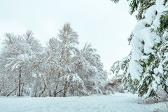Snow-covered tree branch at sunset. Winter Stock Photos