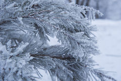 Snow-covered tree branch in winter Royalty Free Stock Photography