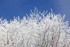 Snow-covered tree branches against the blue sky Royalty Free Stock Image