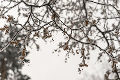 Snow-covered tree branches. In the background of the winter sky Stock Images