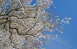 Winter branches Royalty Free Stock Photo