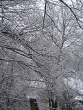 Snow covered tree branches Royalty Free Stock Image