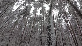 Snow Covered Tree Branches, Pine Forest, Winter Forest stock video