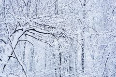 Snow-covered tree branches. Snow-covered branches of trees in the forest Royalty Free Stock Images