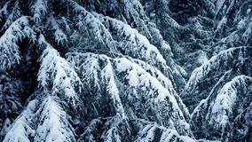 Snow Covered Tree Branches In Snowfall. Tree branches covered in snow with snow falling stock footage