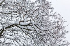 Snow covered tree branches during snow storm Royalty Free Stock Images