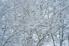 Snow-covered tree branches Stock Photography