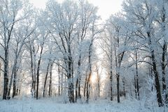 Snow-covered tree branches on a winter cloudy day royalty free stock photo
