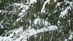 Branches Covered with Snow. Snow-Covered Tree Branches in Winter Forest. Camera Tilting stock footage