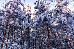 Snow-covered tree branches in the winter forest in the sunset light royalty free stock photos
