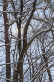 Snow covered tree branches in winter Royalty Free Stock Photo