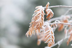 Snow-covered tree leaves royalty free stock image