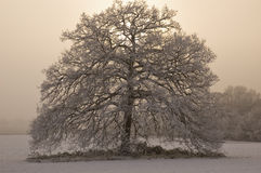 Snow covered tree with misty background Stock Image