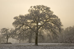 Snow covered tree with misty background Stock Photos