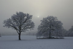Snow covered tree with misty background Royalty Free Stock Photo