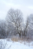 Snow-covered tree. Morning in the snowy woods Royalty Free Stock Photography