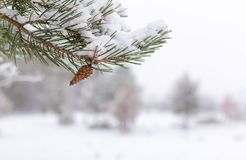 White winter - pine branch with pinecone, close up royalty free stock images
