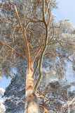 Snow covered tree perspective view looking up. At sunny cold winter day Royalty Free Stock Photography