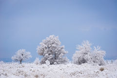 Snow Covered Tree Royalty Free Stock Image