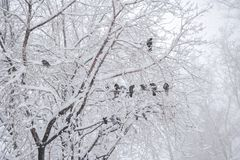 Snow-covered tree with pigeons sitting on it during snowfall. royalty free stock image