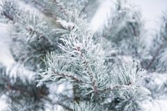 Snow-covered tree pine branch with snowflakes in forest closeup. Stock Photo