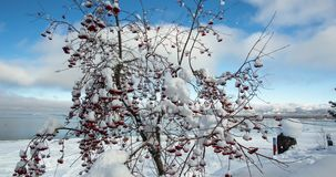 Snow Covered Tree with Red Berries. A Panoramic Time Lapse from Lake Tahoe, California stock video